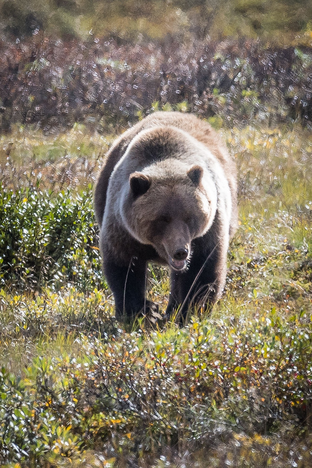 This Grizzly Has Located a New Berry Patch