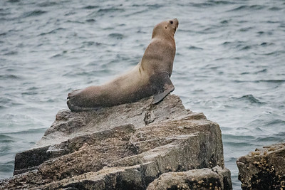 Basking Sea Lion