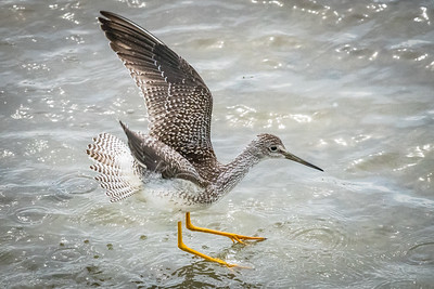 Lesser Yellowlegs Preparing to Fly