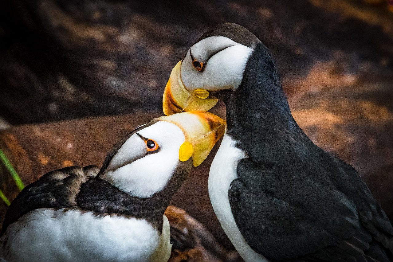 The Cutest Puffins we Saw
