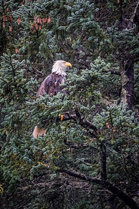 Bald Eagle in Spruce Tree