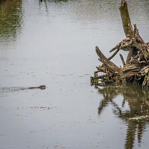 Beaver, Potter Marsh