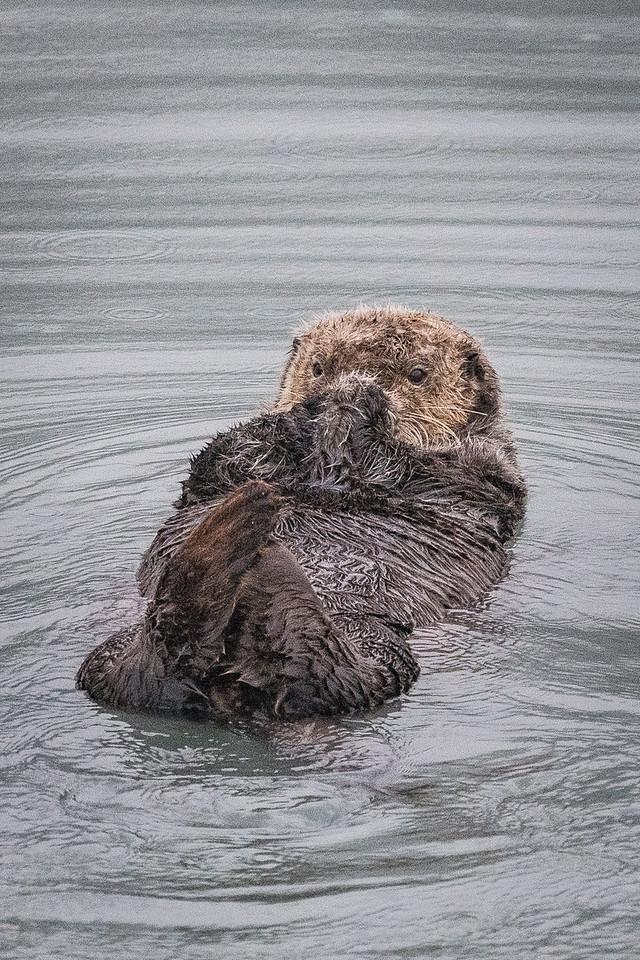 Sea Otter In Seward Harbor