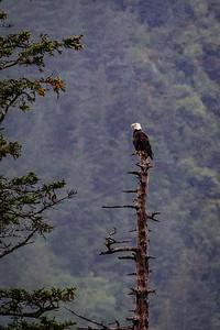 Lone Bald Eagle in the Rain