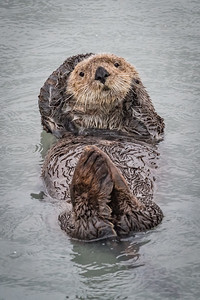 Sea Otter Floating in Resurrection Bay