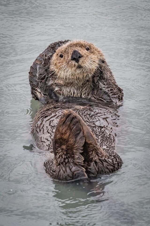 Sea Otter Floating in Resurrection Bay