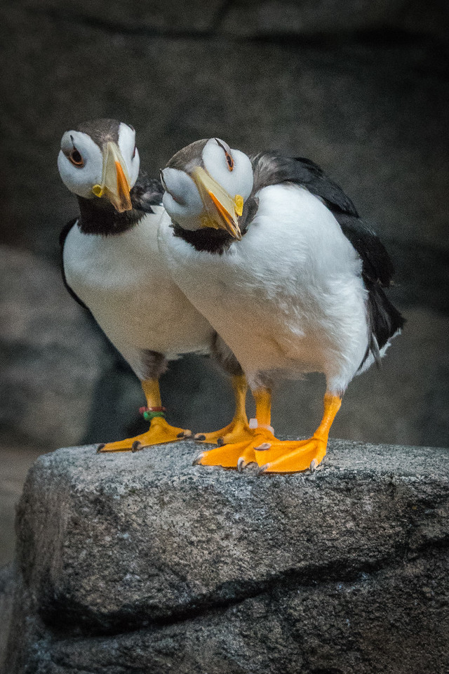 Curious Horned Puffins