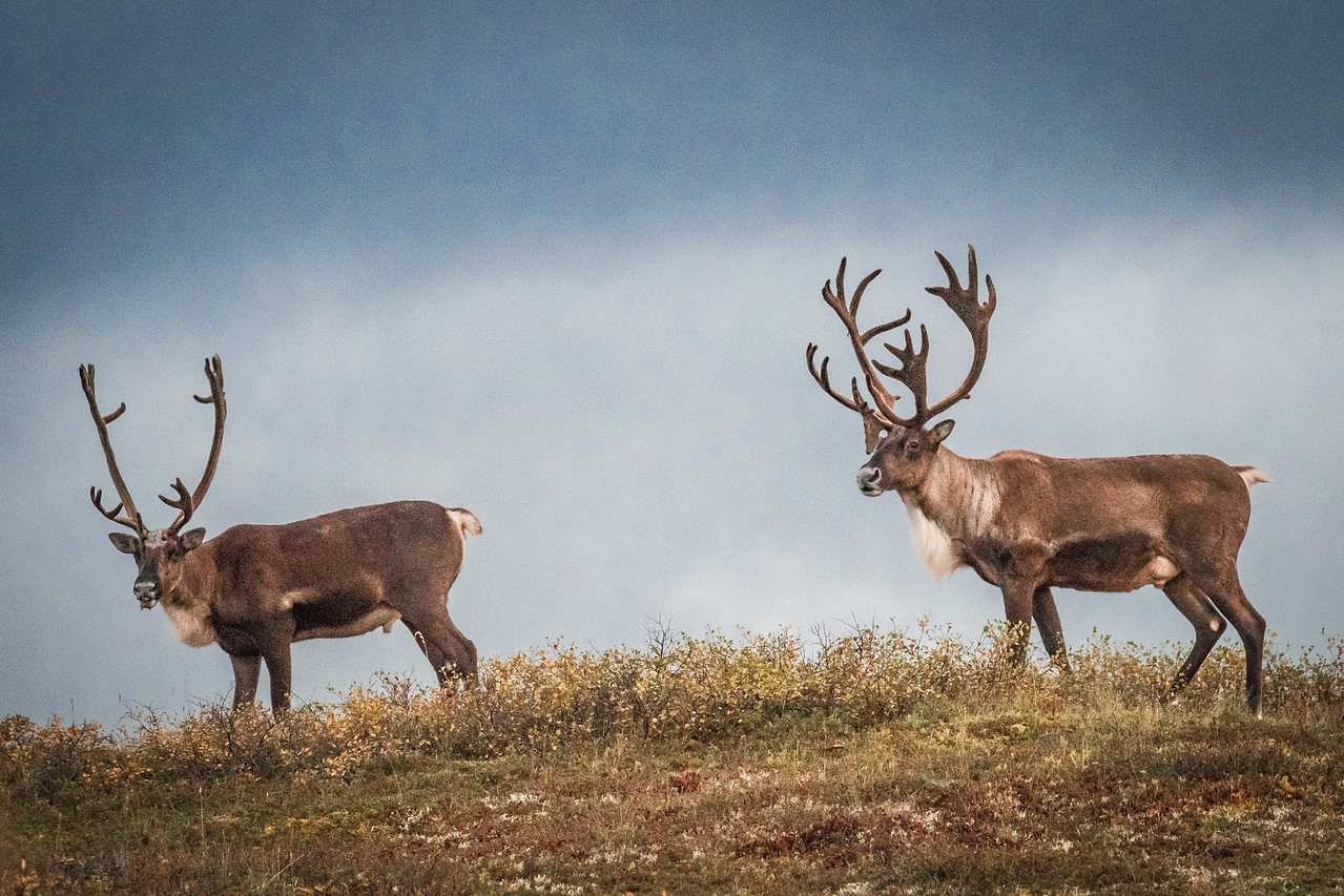 The big guy on the right had the largest antler rack I saw. He will probably be given approval to mate by the females.