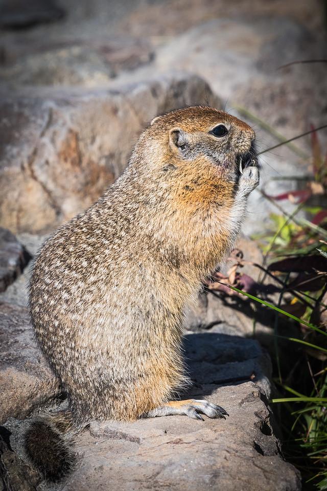 Arctic Ground Squirrel with Tidbit