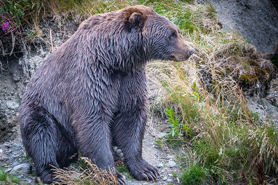 Brown Bear After Its Dip