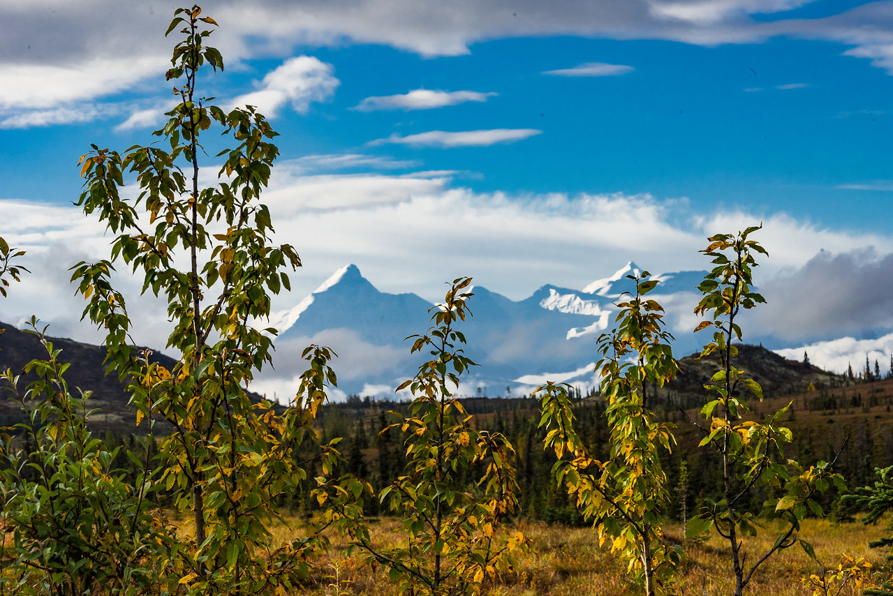 Alaska Range and Autumn Willows Beginning to Turn Color