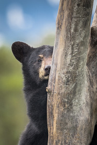 Black Bear Cub Peeking from Behind a Stump