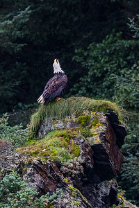 Eagle Singing on Rock