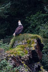 Eagle Singing on Rock