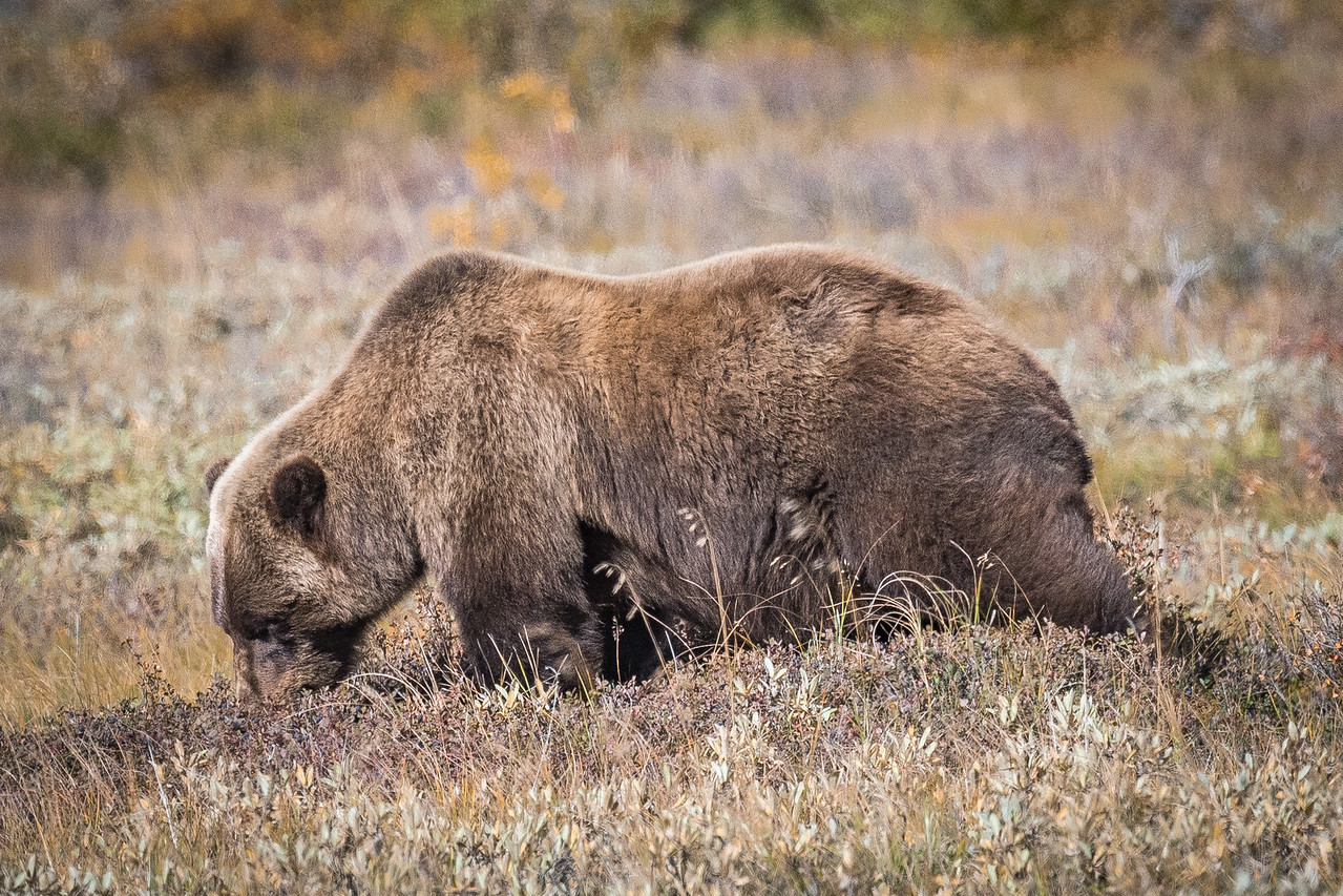 Grizzly Bear Feeding on Berries (2)