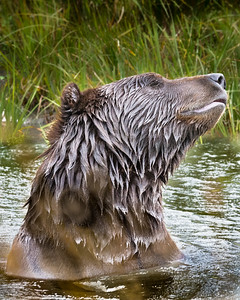Brown Bear Enjoying a Dip
