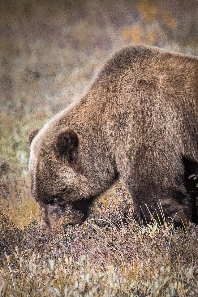 Grizzly Bear Feeding on Berries