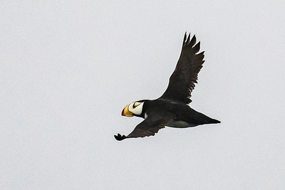 Another View of a Horned Puffin in Flight