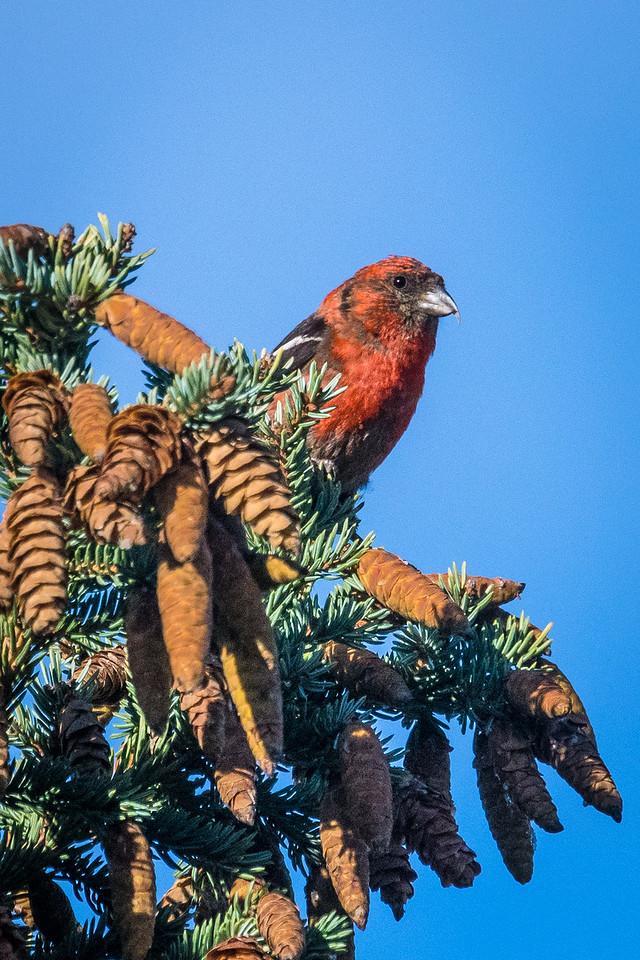 Crossbill in Spruce Tree