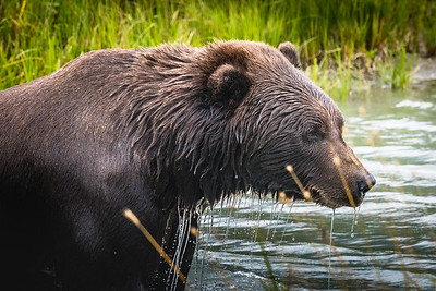 Brown Bear Coming Out of the Water