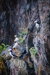 Horned Puffins On Rock Ledges