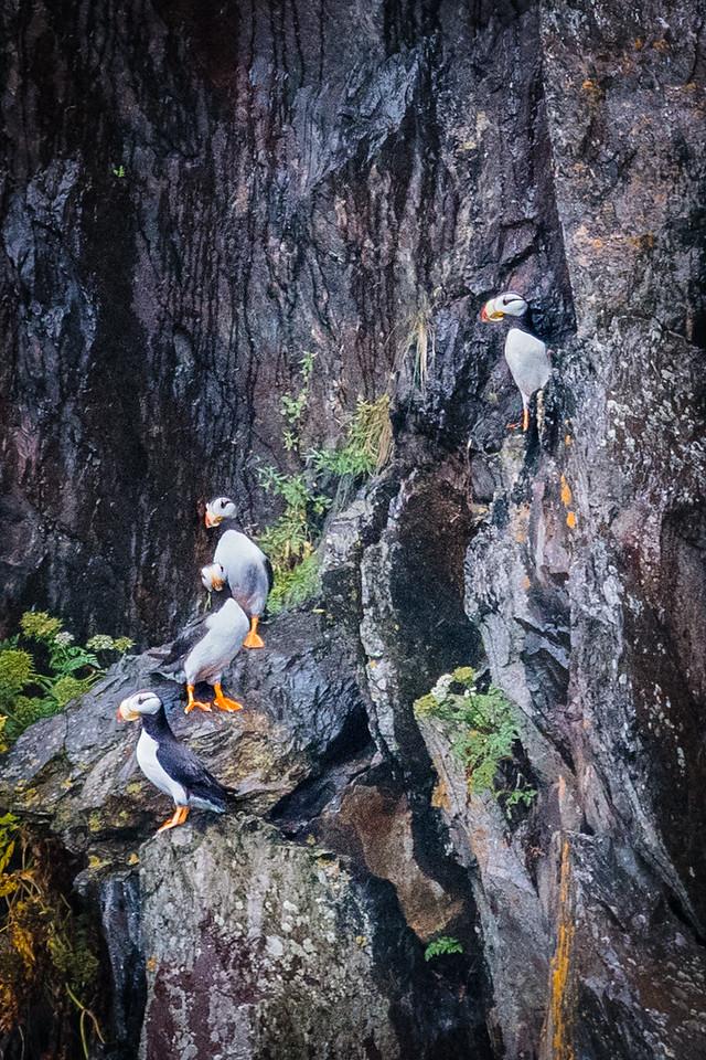 Horned Puffins On Rock Ledges