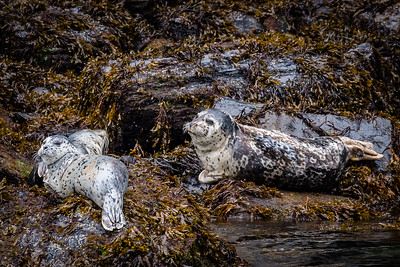 Harbor Seals Hauled Out on the Rocks