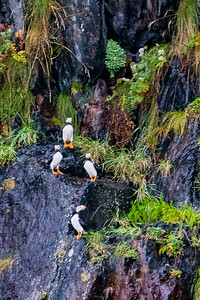 Horned Puffins Nesting on Cliff