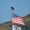 Patriotic eagle in Sitka, AK