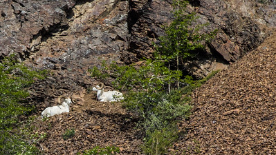 Dall sheep on the hills