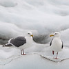 Gulls.  Endicott arm, Alaska.  2017
