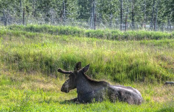 Moose Resting