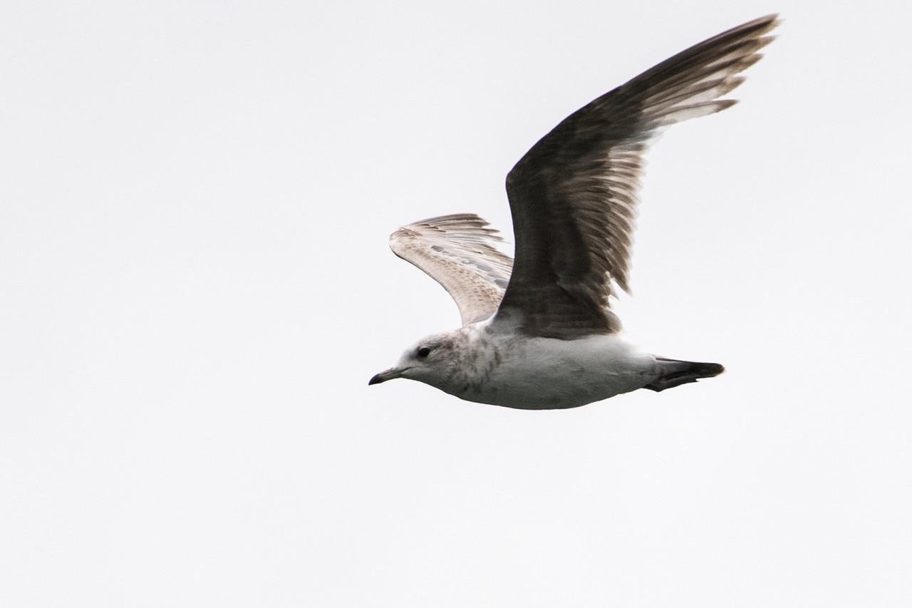 Glaucous gull.  Juneau, Alaska.  2017