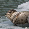 Harbor seal & pup.  Tracy arm, Alaska.  2017