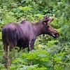 Moose in Kincaid Park