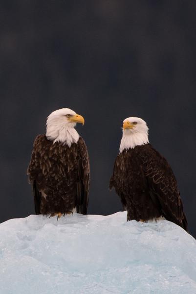Bald eagles.  Tracy arm, Alaska.  2017