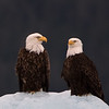 Bald eagles.  Tracy arm, Alaska.  2017