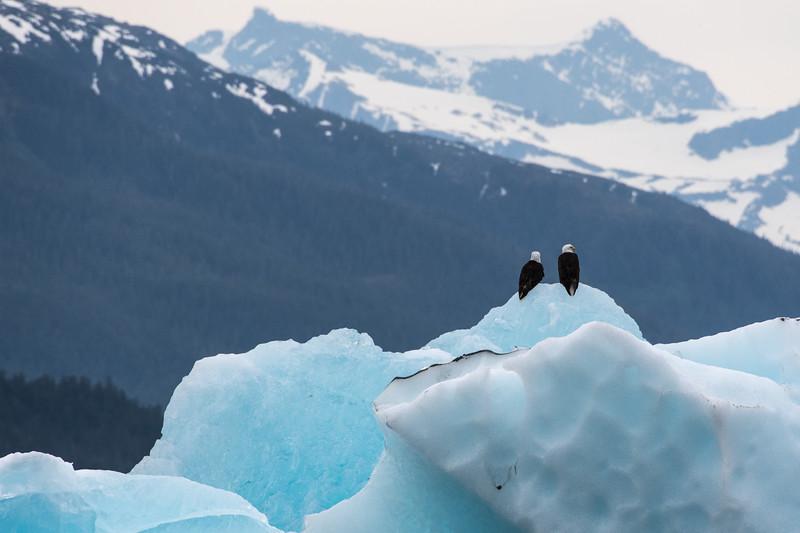 Eagles & ice.  Tracy arm, Alaska.  2017
