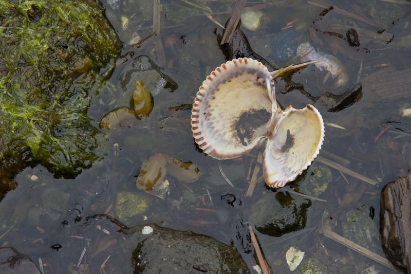 Shells.  Madan Bay, Alaska.  2017