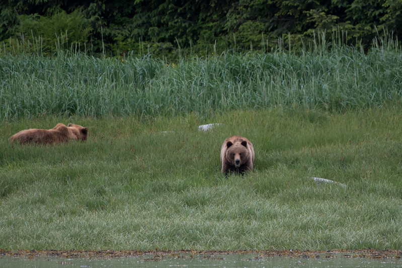 Brown bears.  Endicott arm, alaska.  2017