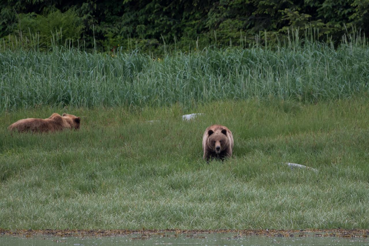 Brown bears.  Endicott arm, alaska.  2017