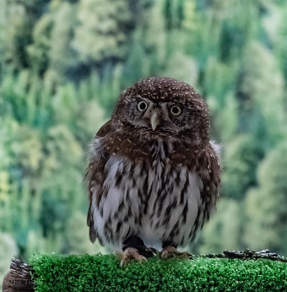 A Pygmy Owl