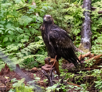"This is a ""Golden Eagle"""