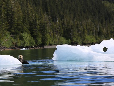 The sea otters love to hang out on the ice.