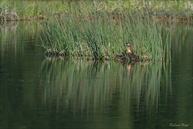 Red-necked Grebe on a nest
