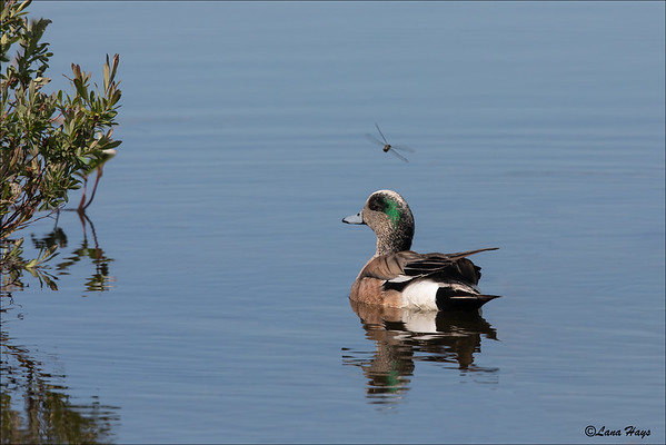 American Wigeon and Dragonfly