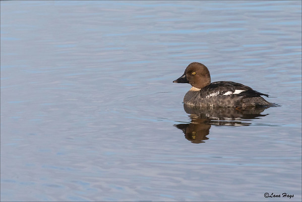 Common Barrow's Goldeneye