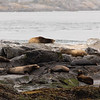 Sea Lions at Race Rock