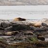 Sea Lions at Race Rock