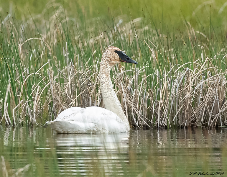 Trunda Swan